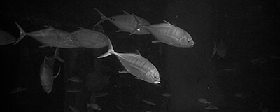 Black and white photos with fishes in an aquarium. Photo part of the photo project - Fish Water Berlusconi